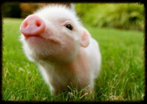 duchess-diaries-helper-pig
