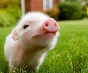 lil-piggy